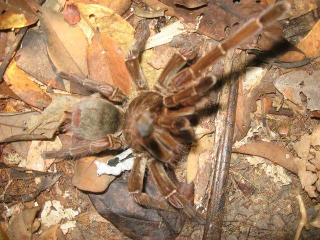 br-animals-tarantula5