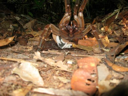 br-animals-tarantula6