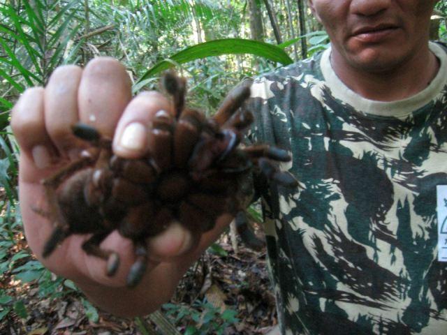 br-animals-tarantula7